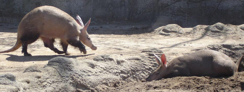Aardvark - Porcul Furnicar