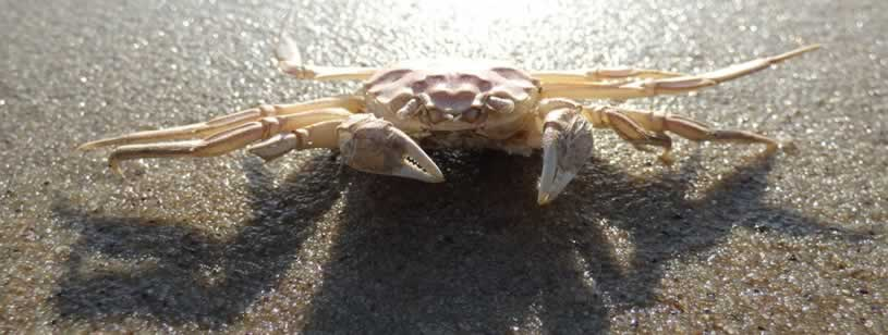 Crabul