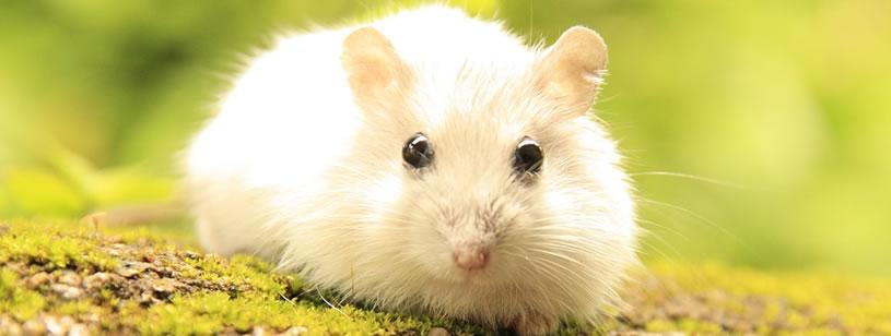 Hamsterul