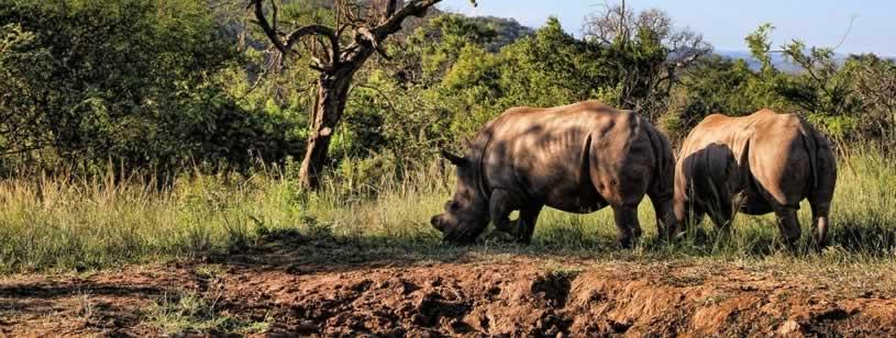 Coarnele rinocerilor