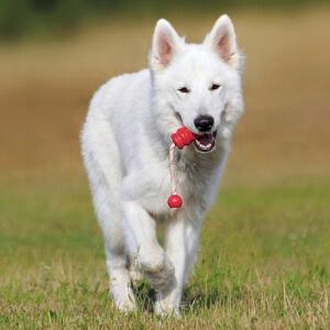 Ciobanesc alb