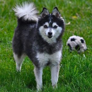 Husky pitic