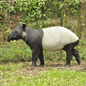 Tapirul