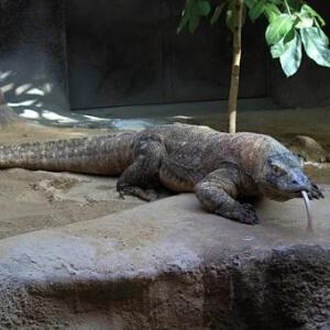 Varanul - Dragon de Komodo