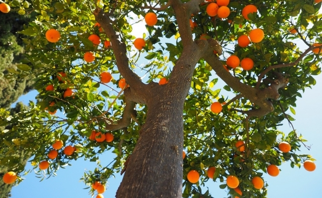 Cat creste si cat traieste un portocal?