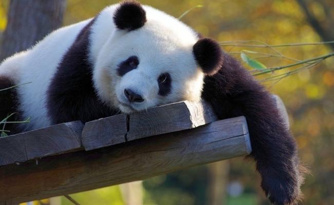 Unde se gaseste ursul panda urias?