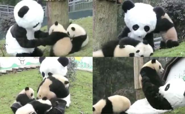 Ingrijitori zoo imbracati in ursi panda?
