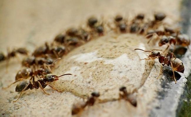 Cel mai mare cuib de furnici din lume?