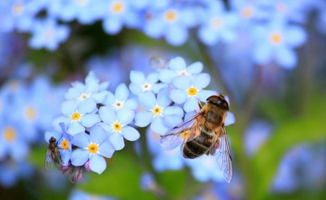 Cat nectar aduca albinele pentru un kg de miere?