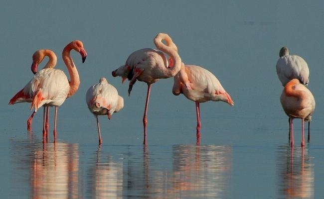 Care este genunghiul pasarii flamingo?