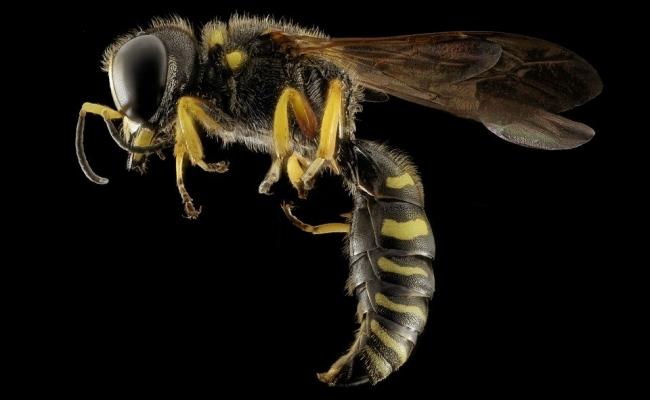 Pot viespile intepa de mai multe ori?