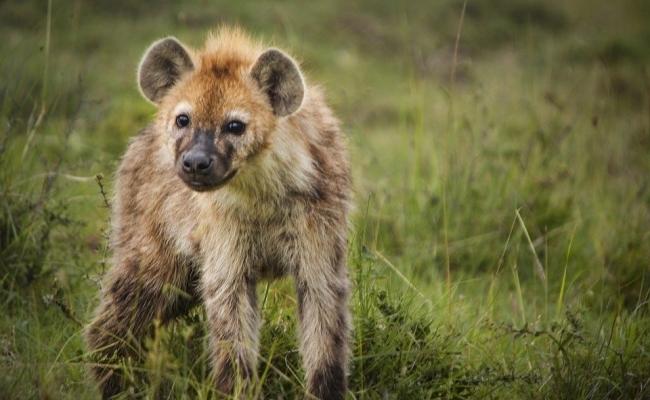 Morti pentru hiene?