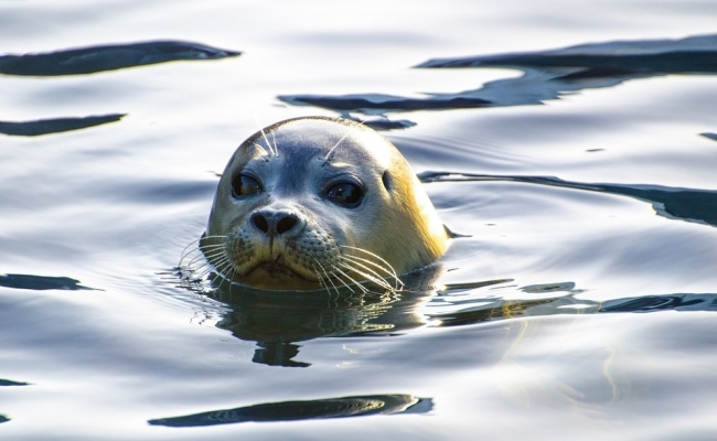 Focile traiesc in mare parte in apa?