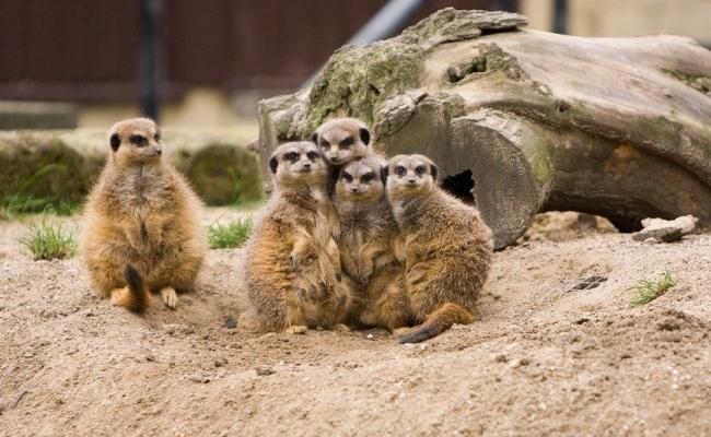 Poate suricata supravietui singura?