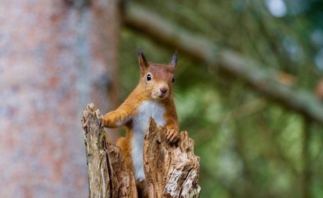 Veveritele ajuta la aparitia copacilor