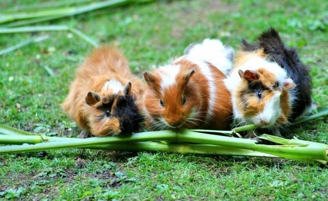 Ilegal un singur porc de Guineea in Elvetia?