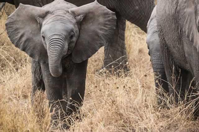 care este vederea unui elefant tratament pentru revenirea vederii