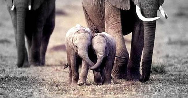Cele mai simpatice poze cu pui de elefanti