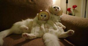 Pisici pe paine
