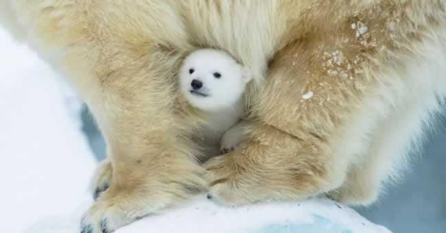 Cele mai adorabile poze cu ursi polari