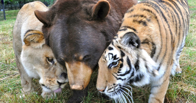 Tigru Leu Urs