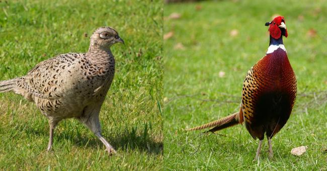 Masculii si femele fazani