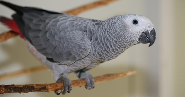 Papagal gri