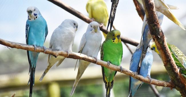 Papagali colorati
