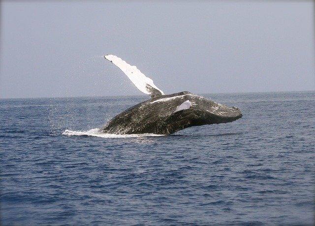 Balenele respira