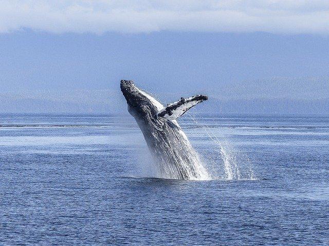 Balena Urineaza
