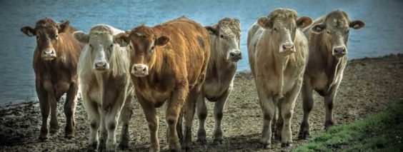 Cat mesteca o vaca