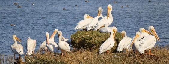 Pungile pelicanilor